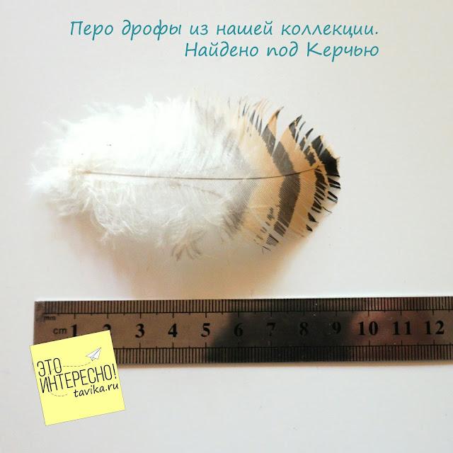 Перо дрофы, Крым, Керчь