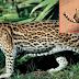 Polícia Ambiental confirma que animal atropelado em Catuípe é maracajá, não uma Onça