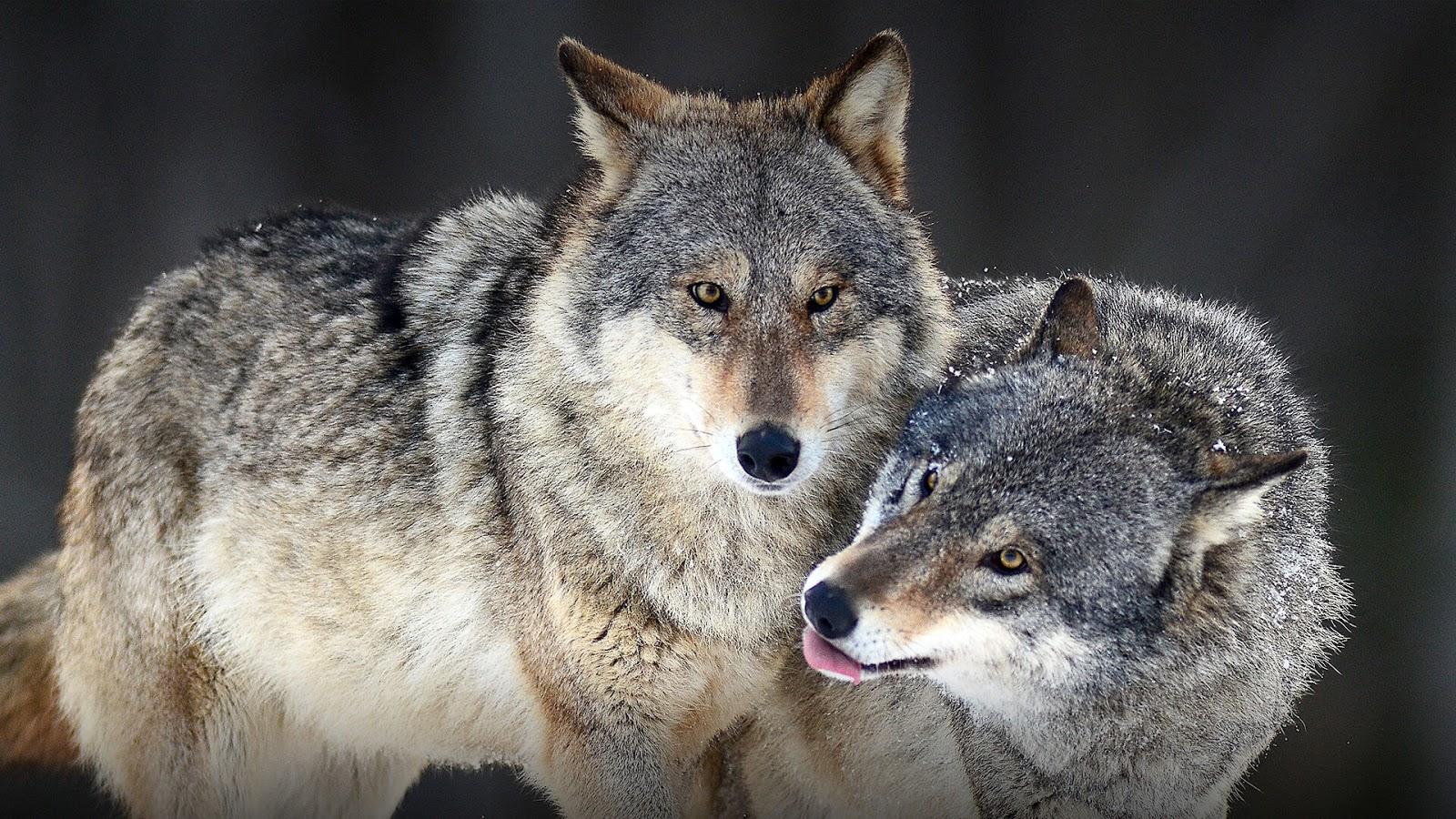 22 Fakta Unik Mengenai Serigala yang Jarang Kamu Ketahui
