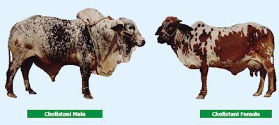 Cholistani cattle