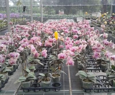 Taman Anggrek Malino
