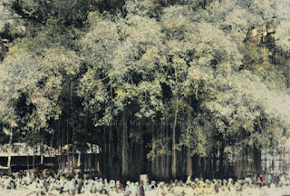 pohon baringin di pasar sibuhuan padang sidempuan