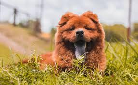 Cara Merawat Anjing Chow Chow Hewan Peliharaan Pendiam