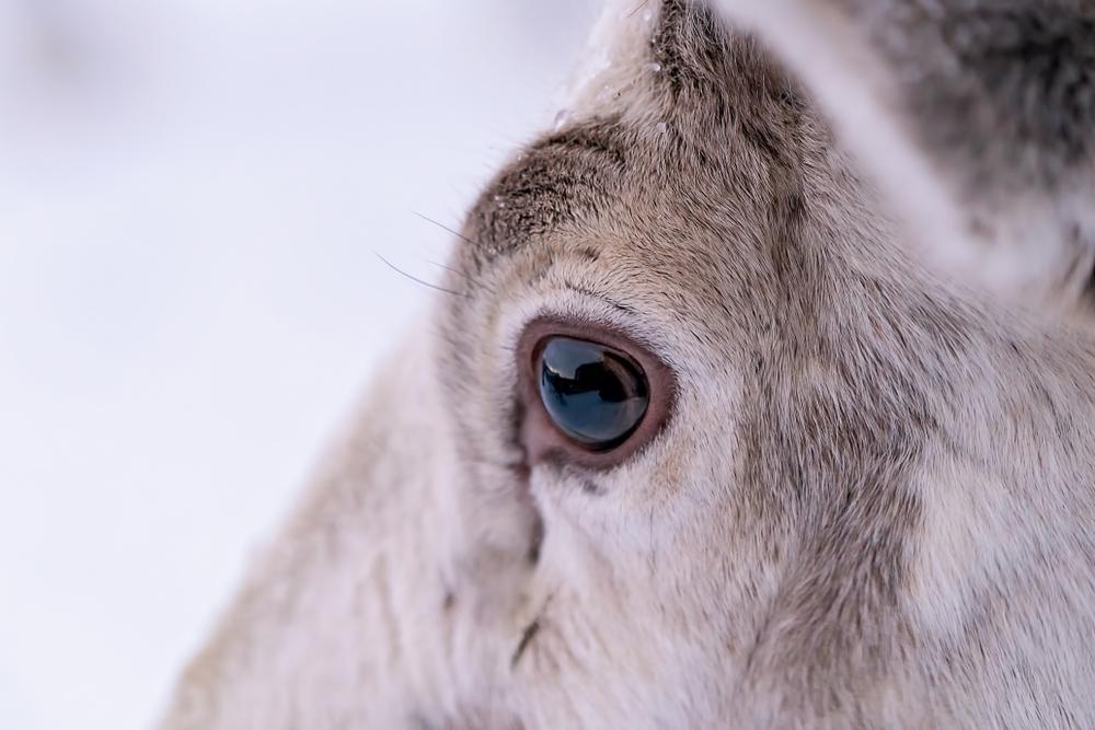 Reindeer's Eyes