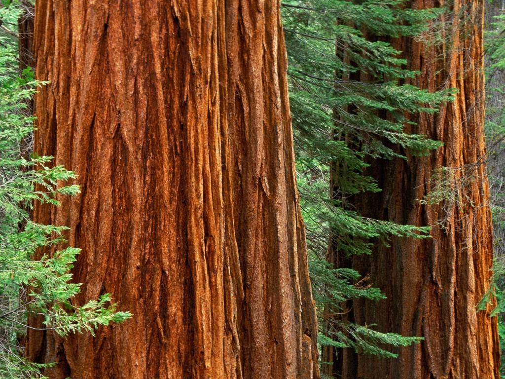 Giant Redwoods Wallpaper