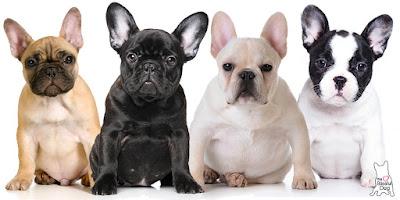 Características Bulldog Francés