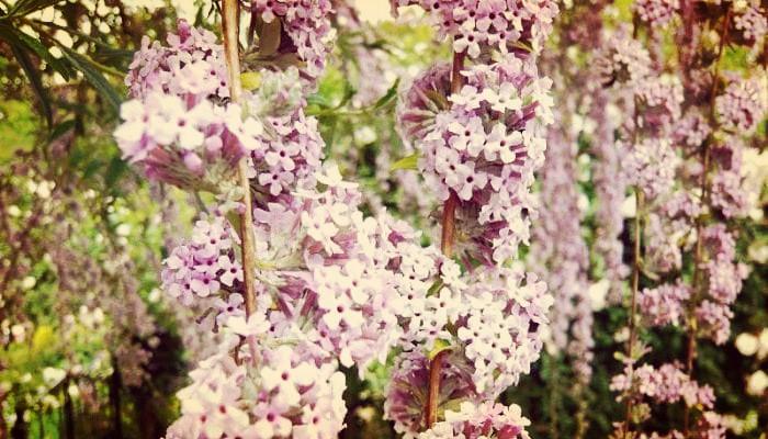 Arbusto Buddleja alternifolia
