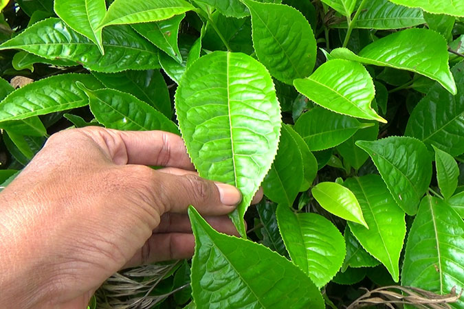 Dlium Tea plant (Camellia sinensis)