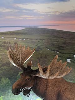 Prince Edward Island Moose
