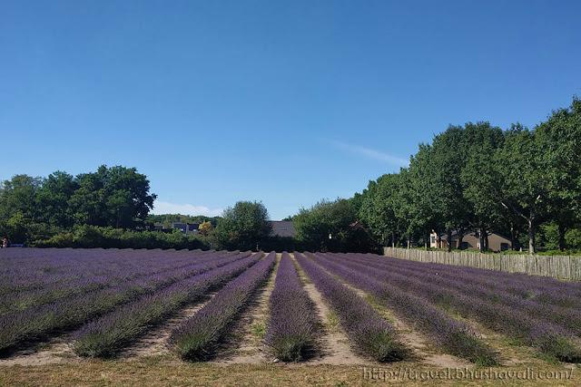 Belgium lavender fields