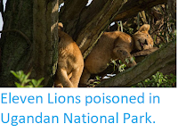 http://sciencythoughts.blogspot.co.uk/2018/04/eleven-lions-poisoned-in-ugandan.html