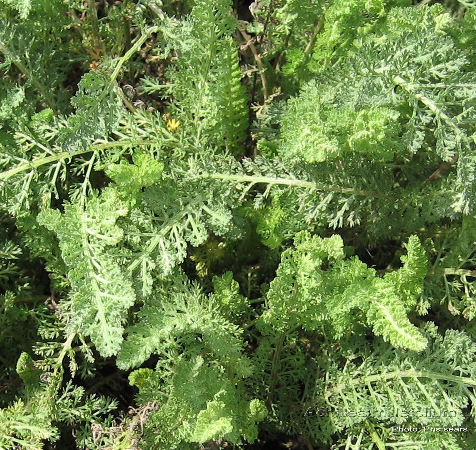 Medicinal Plants: Achillea millefolium