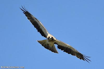 Vista frontal de l'àguila calçada