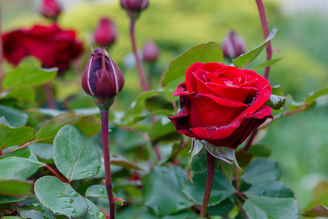 Red Rose in Spring Blossom Free Image