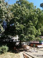 Nucul din Parcul Cancicov