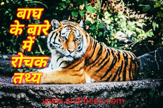 information of tiger in hindi - बाघ के बारे में 34 Amazing तथ्य।