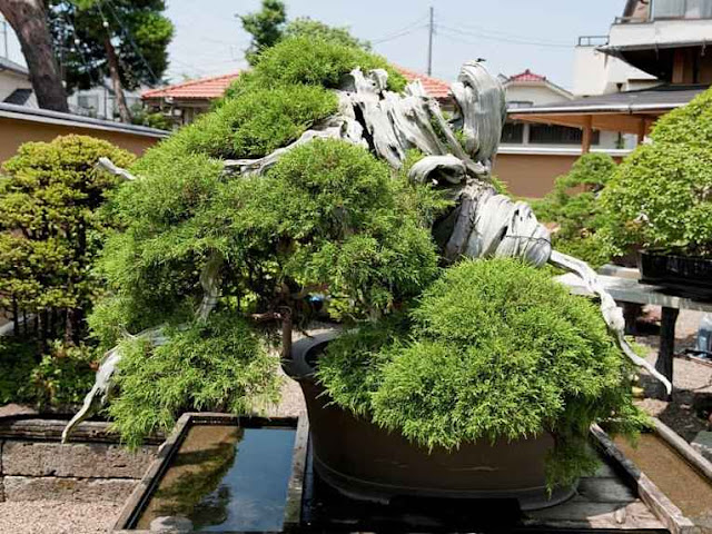 Bonsai da família kato no japão