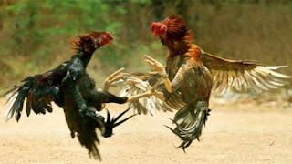 Tajen adalah Perjudian Ayam di Bali