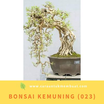 Bonsai Kemuning (023)