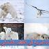 كيف تعيش الحيوانات في القطب الشمالي؟