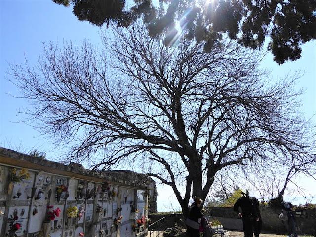 il terebinto nel cimitero di monterosso