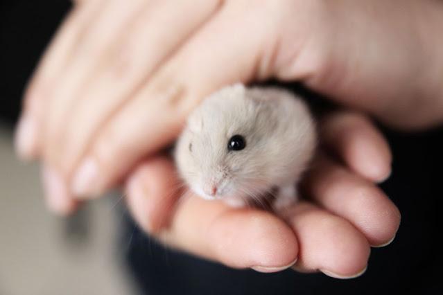 9 Cara Merawat Hamster agar Tumbuh Sehat & Tidak Cepat Mati