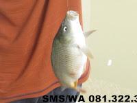 Essen Ikan Mas Harian Aroma Seribu Bunga