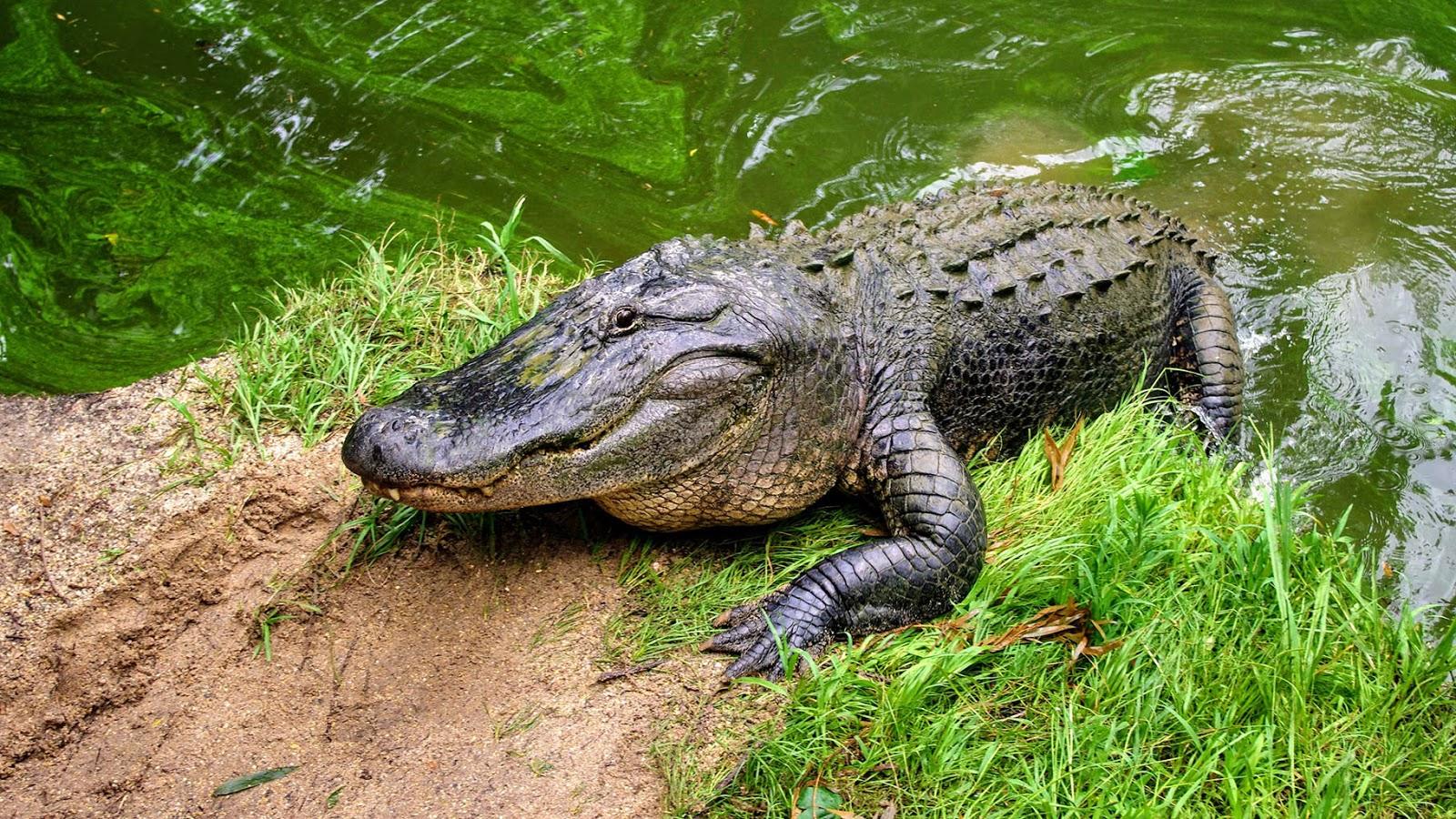 Cá Sấu Cuồng Bạo