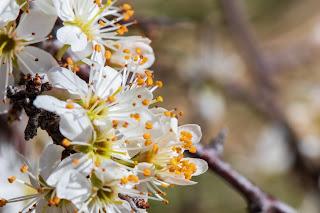 [Rosaceae] Prunus spinosa – Blackthorn or Sloe