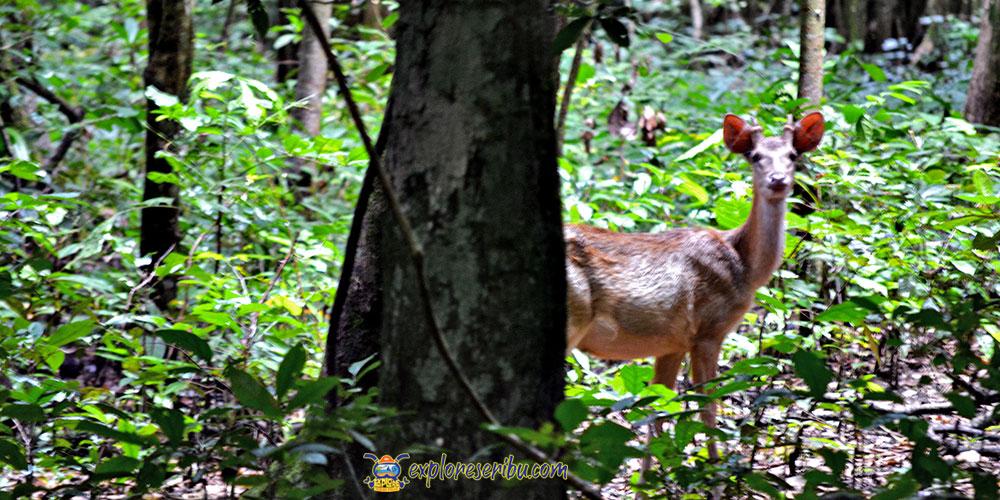 rusa salah satu satwa liar yang mudah ditemui di ujung kulon