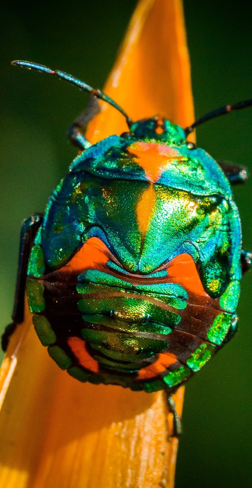 A colorful rainbow beetle.