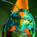 A colorful rainbow beetle