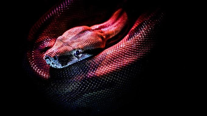 Papel de Parede Cobra para Celular e PC