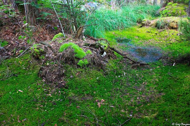 Sphaigne (Sphagnum), Forêt de Fontainebleau, espèce non définie