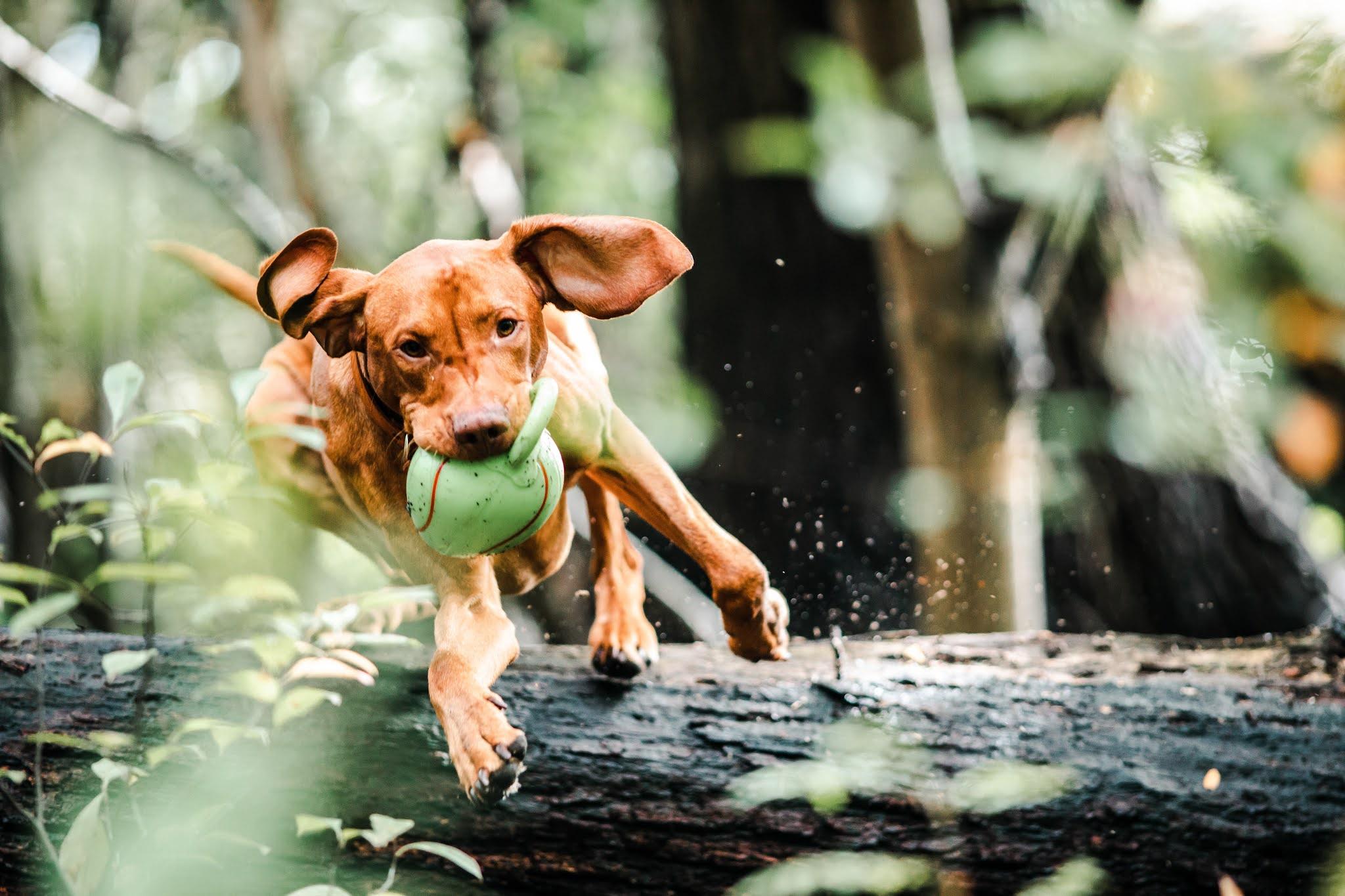 Cachorro brincando com a bolinha