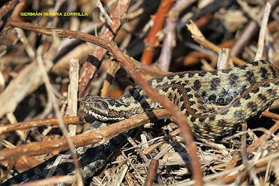 Seoane's viper