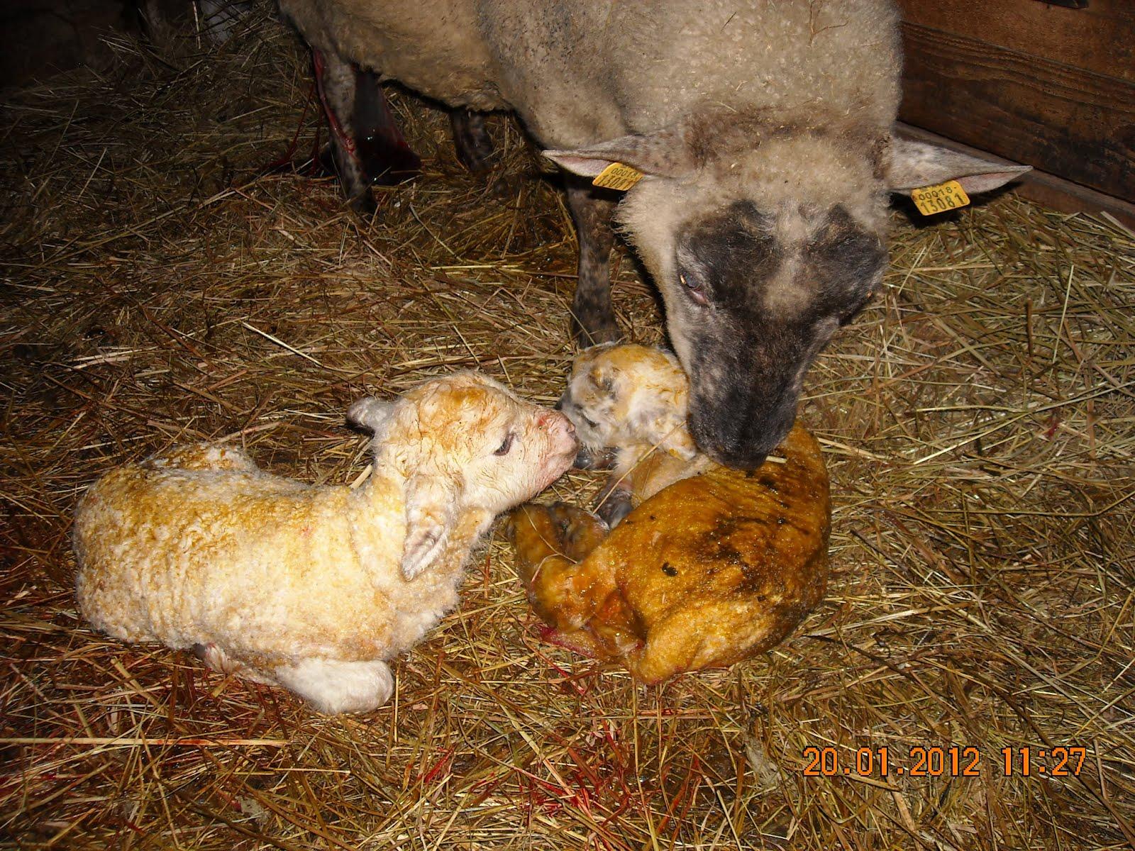 d701528dc43 Peale oma lambaga ühele poole saamist helistas naabrimees lambakasvataja,  kes vajas oma laudas sünnitusabi...abi antud, sai aga oma lauta tagasi  tuldud, ...
