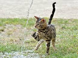 Bengal Katze Tierheim