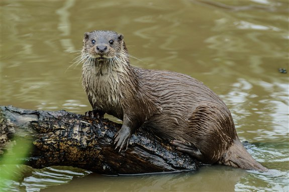 Su Samuru - S hayvan isimleri