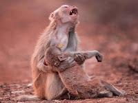 Momen Memilukan Dari Seekor Induk Monyet Ini Jadi Viral