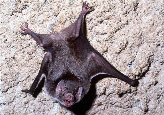 Vampir Yarasa – V hayvan isimleri