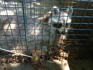 Raccoon in trap, caught in chicken coop