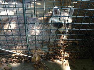 Raccoon in trap, caught in chicken coop