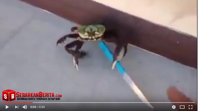 """Video """"Kepiting Ninja """" Yang Melawan Dengan Pisau Ketika Mau Dimasak."""