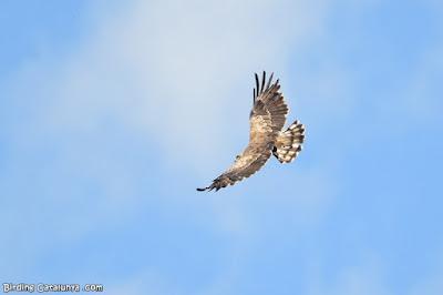 Vista superior de l'àguila marcenca