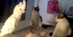 The clip that's making millions laugh: Parrot does everything to fit in with the cats