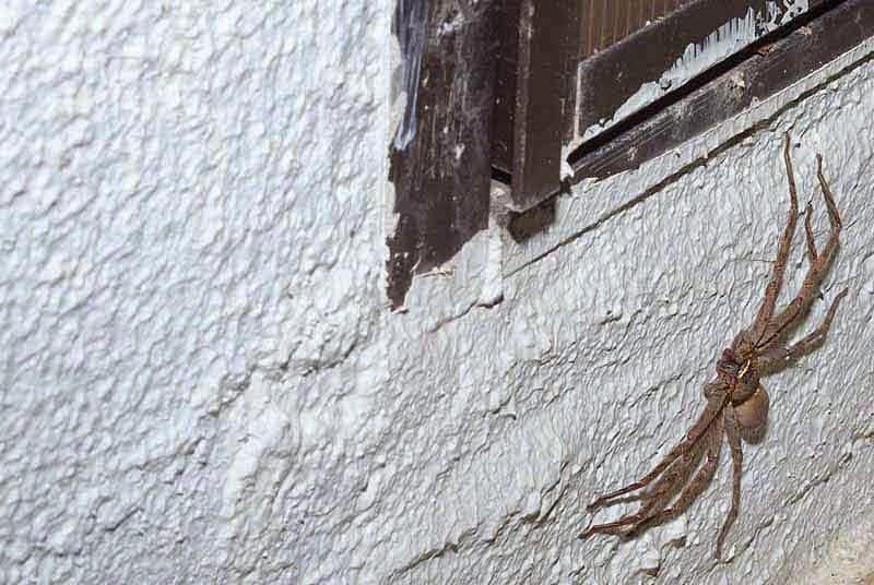 Huntsman spider, outdoors