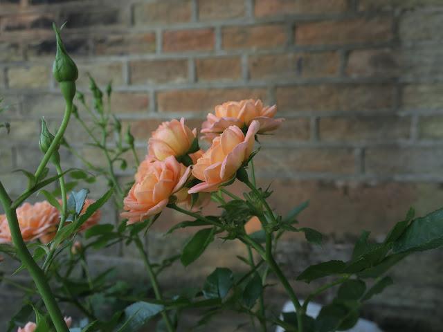 'Sweet Dream' rose from David Austin.