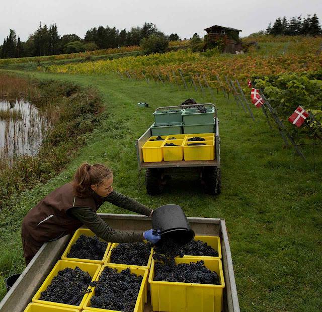 Colheita para vinho em Skaersogaard. Os produtores se adaptaram com sucesso ao clima.