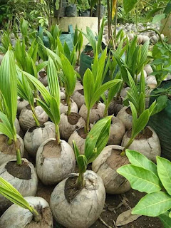bibit kelapa kopyor 100 kultur